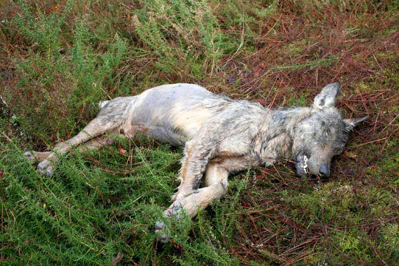 Lobo morto en Dumbría