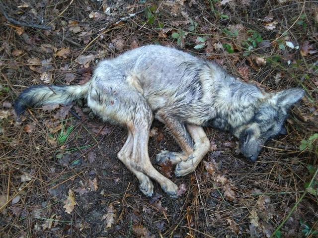 Comunicado sobre a morte a tiros dun lobo en Valiñas (Barro)